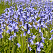 Spanish Bluebell (Hyacinthoides Hispanica)