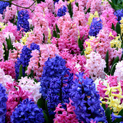 Hyacinth Mixed Colors