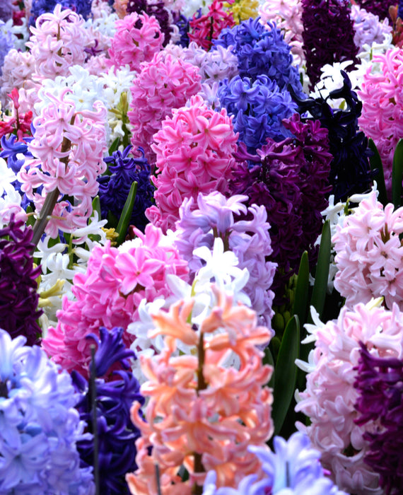 Hyacinth Empire State Mix