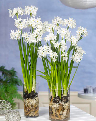 Indoor Narcissus Paperwhites Inbal