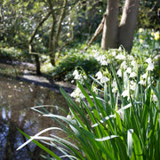 Leucojum Giant Bulbs