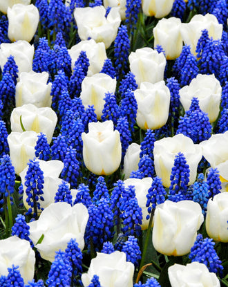 Tulip and muscari bulb collection