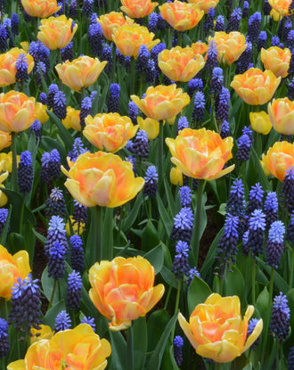 Tulip and muscari bulbs