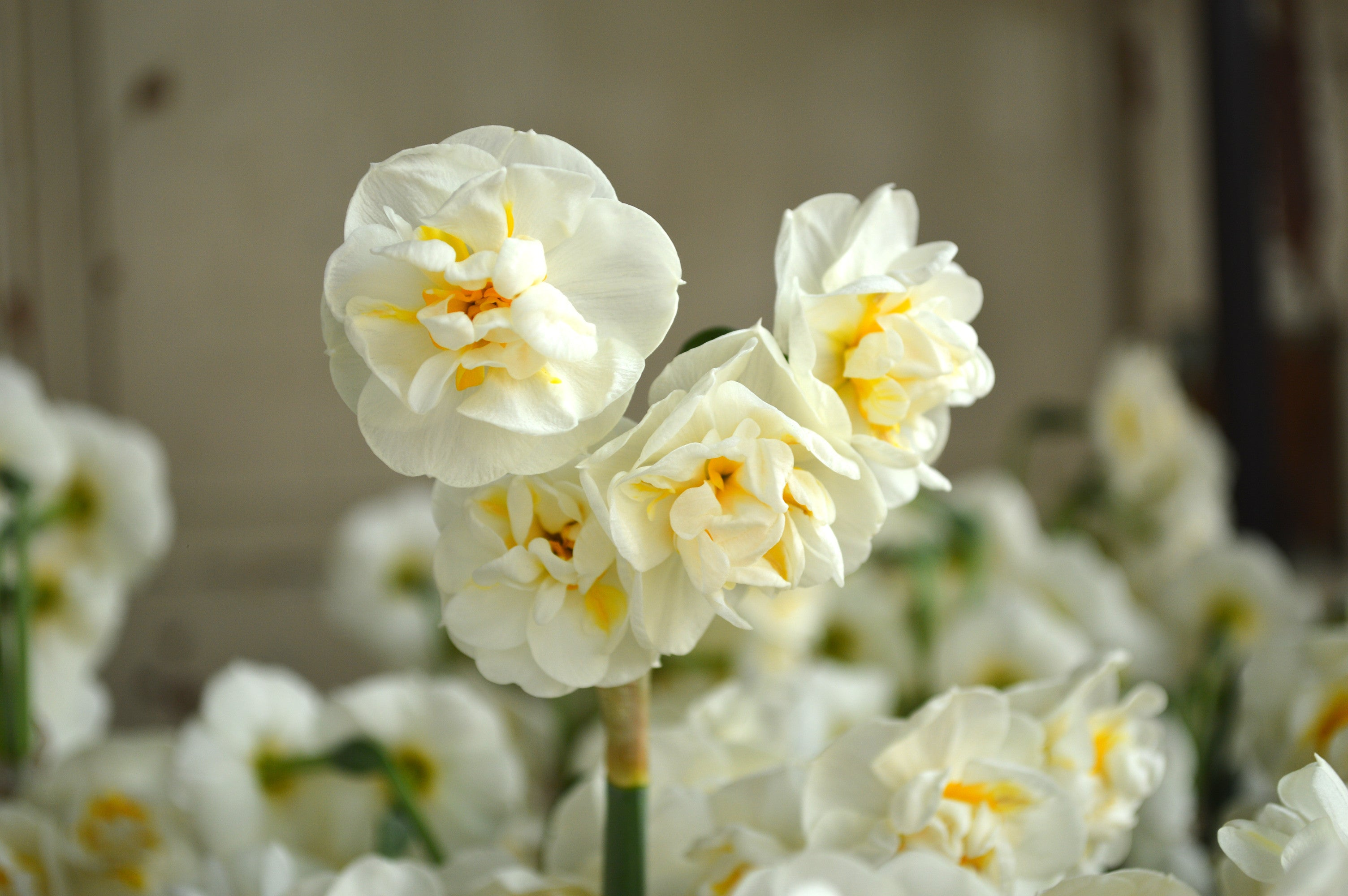Daffodil Bridal Crown GREAT SPRING COLOUR