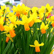 Mini Daffodil Flower Bulbs Jetfire Yellow Orange