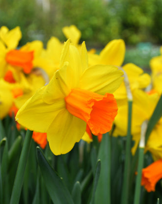 Daffodil Jetfire - Wholesale Flower Bulbs