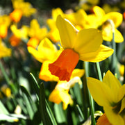 Jetfire Daffodil - Wholesale Flower Bulbs for Fall Planting