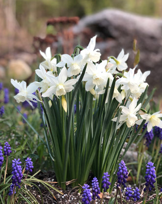 Mini Daffodil Narcissus Thalia White Fragrant Flowers