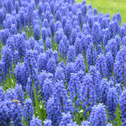 Muscari Armeniacum Bulbs