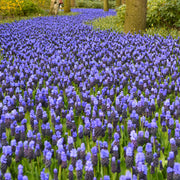 Muscari Bulbs Latifolium