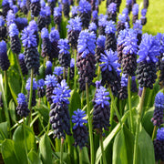Muscari Latifolium Bulbs