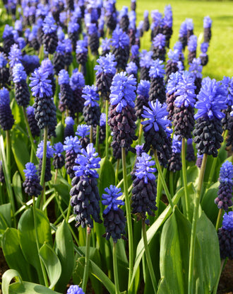 Wholesale Muscari Latifolium Bulbs