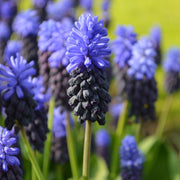 Wholesale Grape Hyacinth Bulbs