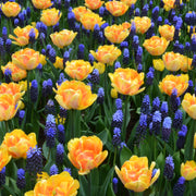 Muscari Latifolium with Tulips