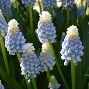 Muscari Bulbs Mount Hood