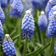 muscari flower bulbs