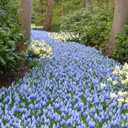 white and blue muscari