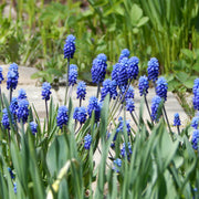 Muscari Bulbs Ocean Magic