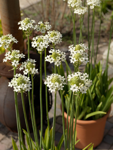 Ornithogalum Arabicum Arabian Starflower Dutchgrown