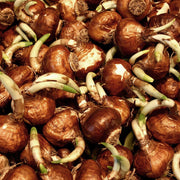 Wholesale Indoor Narcissus Bulbs