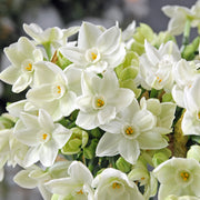 Fragrant Paperwhite Bulbs - Holiday Blooms