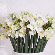 Indoor Narcissus Paperwhites - Indoor Blooms for the Holidays