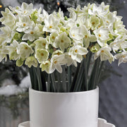 Indoor Narcissus for the Holidays, Paperwhite Narcissus Bulbs