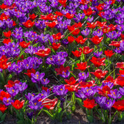 Red and blue flower bulb mix
