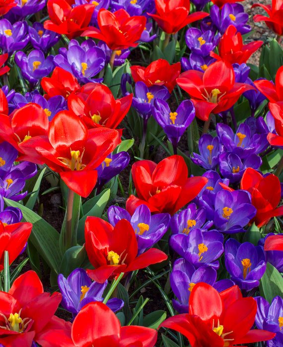 Tulip showwinner and crocus flower record