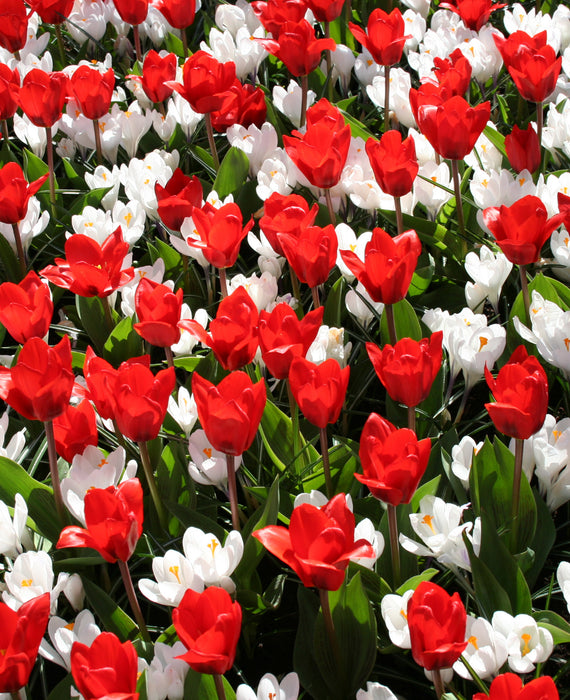 Red white dynamite collection tulips and crocus dutchgrown red white dynamite collection top size bulbs mightylinksfo