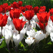 Red tulips and white crocus flower bulb mix