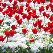 Red and white tulip and crocus mix