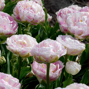 Exclusive Tulip Bulbs from Holland - Tulip Danceline, white, pink, red stripes by DutchGrown