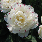 Exclusive Tulip Bulbs from Holland - Tulip Danceline, white, pink, red stripes