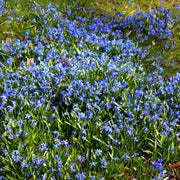 Siberian Squill bulbs