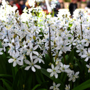 White squill bulbs