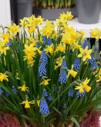 Grape Hyacinth and Daffodil bulb mix