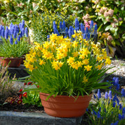 Blue muscari and yellow mini daffodil bulbs