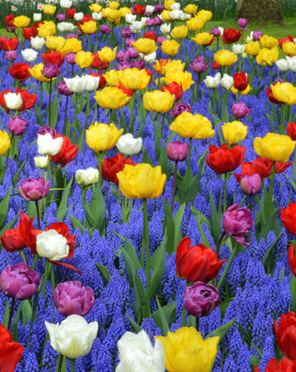 Tulip and muscari flower bulb collection