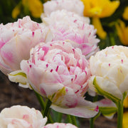 Exclusive Fall Planted Tulip Bulbs from Holland - Tulip Danceline, white, pink, red stripes