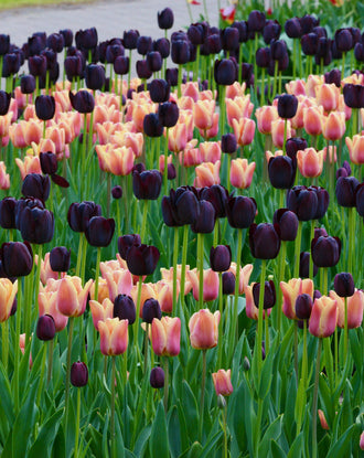 Single Late Tulip Bulb Mix
