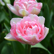 Wholesale Angelique Tulip Flower Bulbs