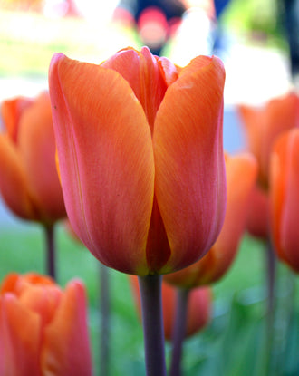 Tulip King's Orange