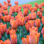 Triumph Tulip King's Orange