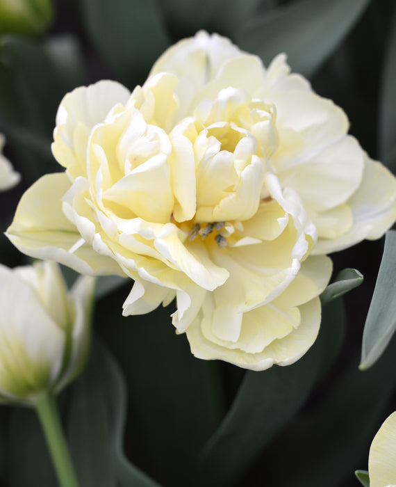 Tulip Avant Garde - Double Cream Flowers