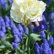 Tulip bulbs - Avant Garde - Cream petals - Doubles