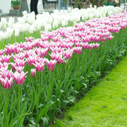 Tulip Ballade Bulbs