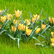 Wholesale Tulip Battalini Bright Gem