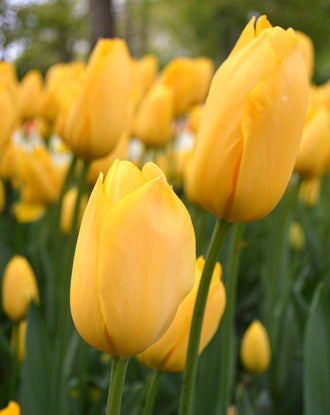Tulip big smile bulbs