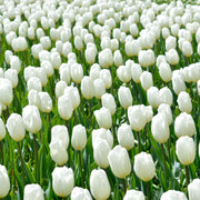 Wholesale White Tulip Bulbs